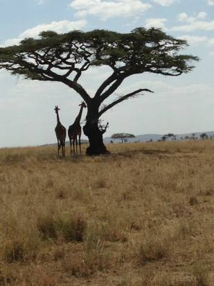 Voy- Tanzania, Giraffes.jpg