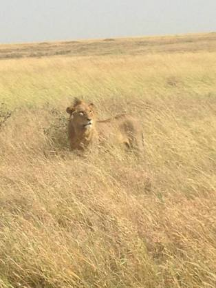 Voy- Tanzania, Lion.jpg